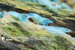 Blue Velvet(Female)