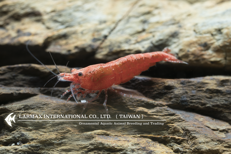 Rose Shrimp(Female)