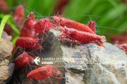 Fire Shrimp(Female)