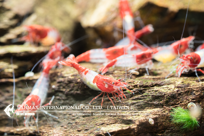 Red Rili(Female)