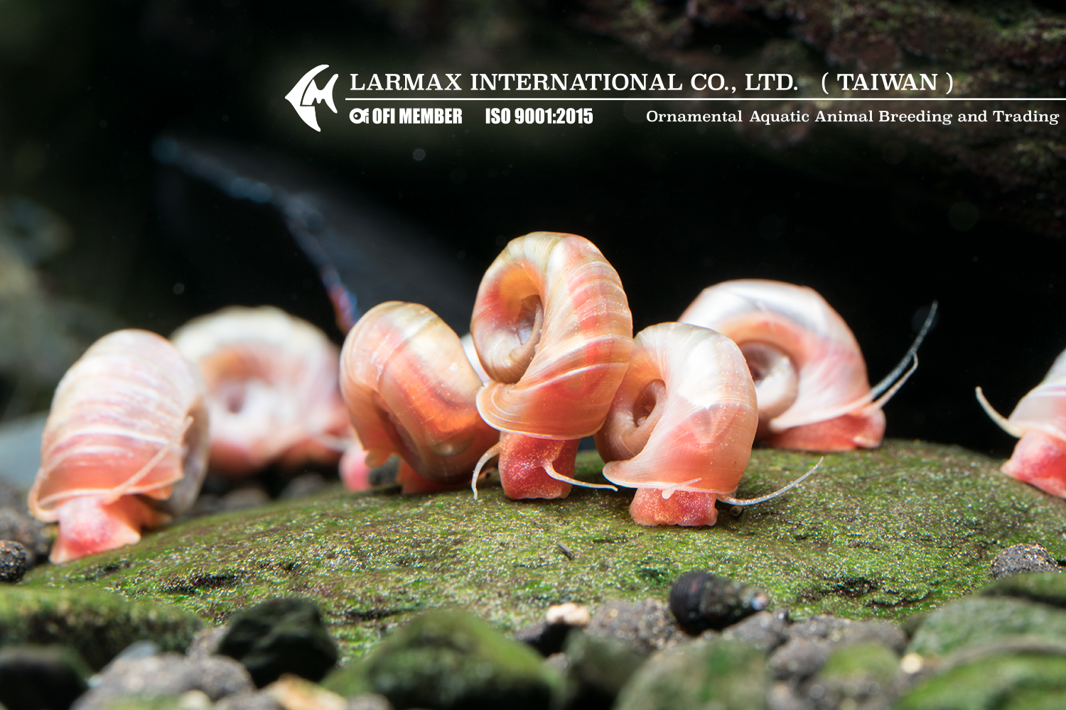 Red Ramshorn Snail