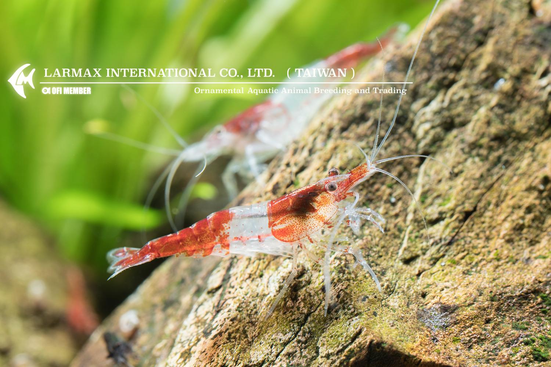 Red Rili(Male)