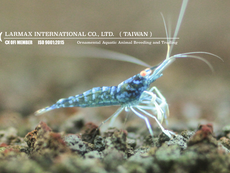 TANK-RAISED SULAWESI SHRIMP