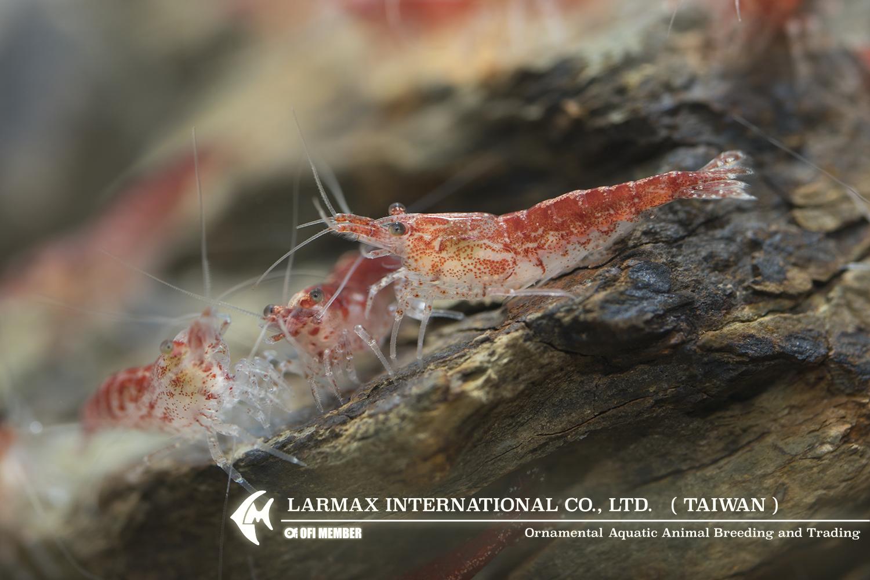 Rose Shrimp(Male)