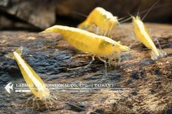 Ultra Gold(Female)