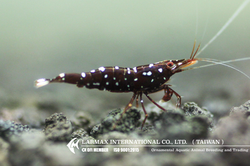 Caridina trimaculatus