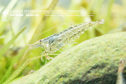 Cleaner Shrimp(Mix)