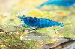 Ultra Blue(Female)