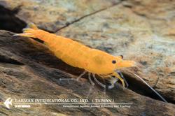Sunkist(Female)