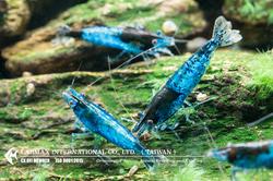 Blue Rili(Female)