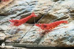 Fire Shrimp(Male)