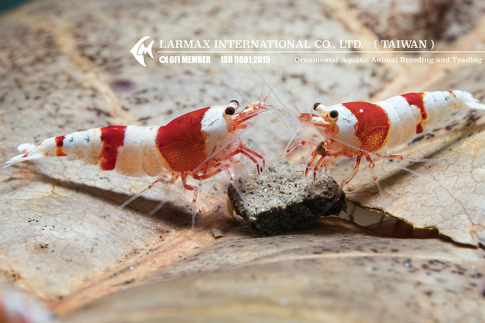 Crystal Red Shrimp(CRS)