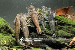 Bamboo Shrimp