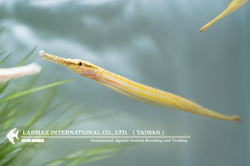 Short-tailed Pipefish