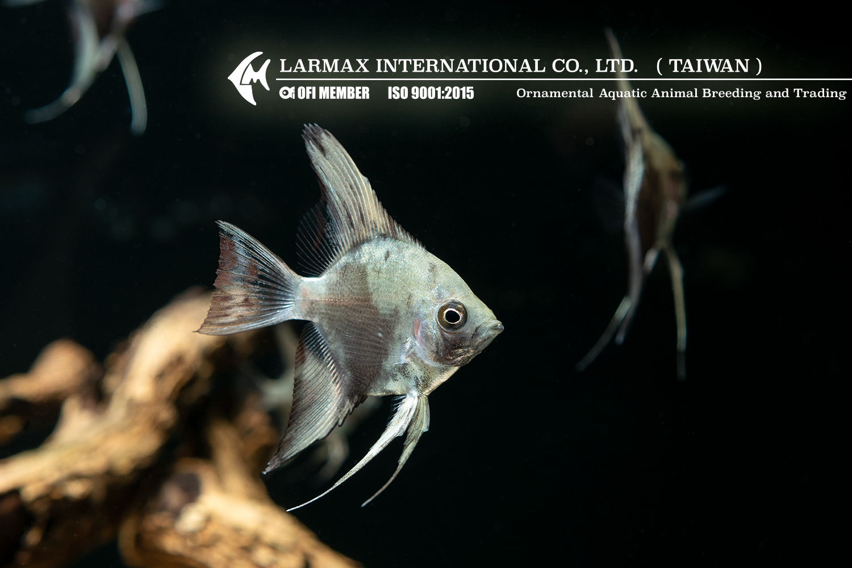 Leopard Larmax Angel Fish