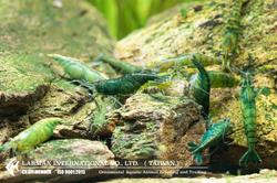 Green Jade(Female)
