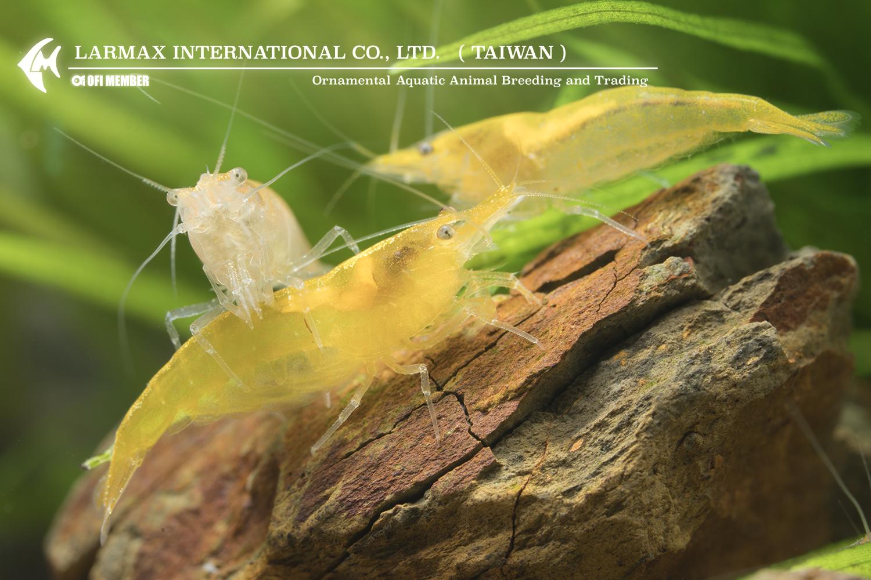 Gold Shrimp(Female)