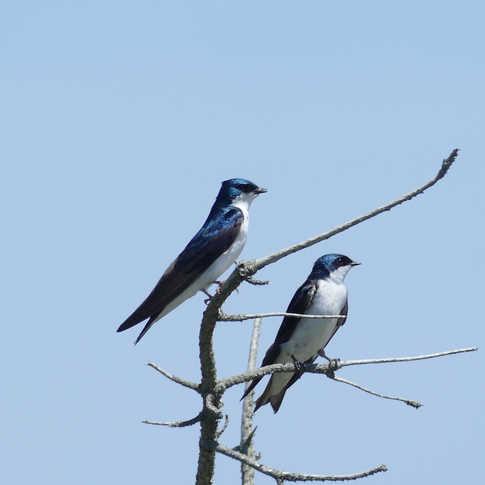 0044_Blue_Birds.JPG