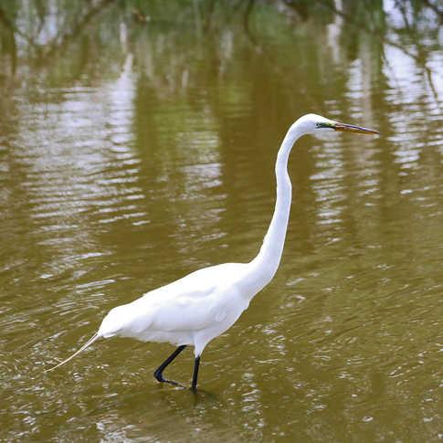 0026_AK0A0705_white_heron_edited.jpg