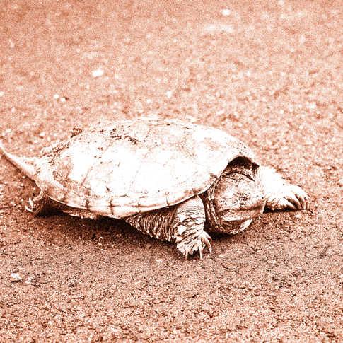 0012_AK0A0536_Water_Turtle.jpg