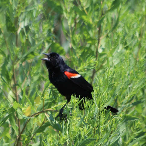 0027_AK0A0801_Red_Wing_Blackbird.jpg