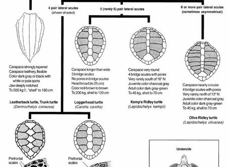 Como identificar Tartarugas Marinhas