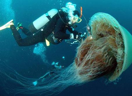 A Coral de Fogo adverte: Não coce o nariz após lidar com Águas Vivas!