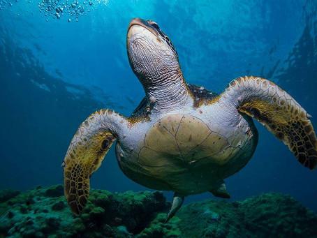 O mito das lágrimas de tartaruga