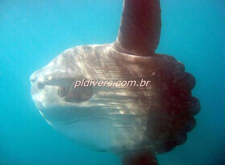 Peixe Lua, o maior peixe do mundo!