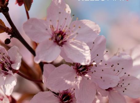 Kirschblüten Wallpaper als kostenloser Download – Freebie