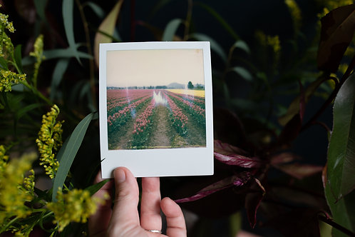tulip fields | polaroid by kristin abigail