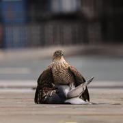 Feral Pigeon Pin Down