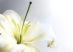 lily-of-the-valley12.jpg