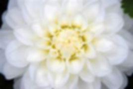 white aster 1.jpg