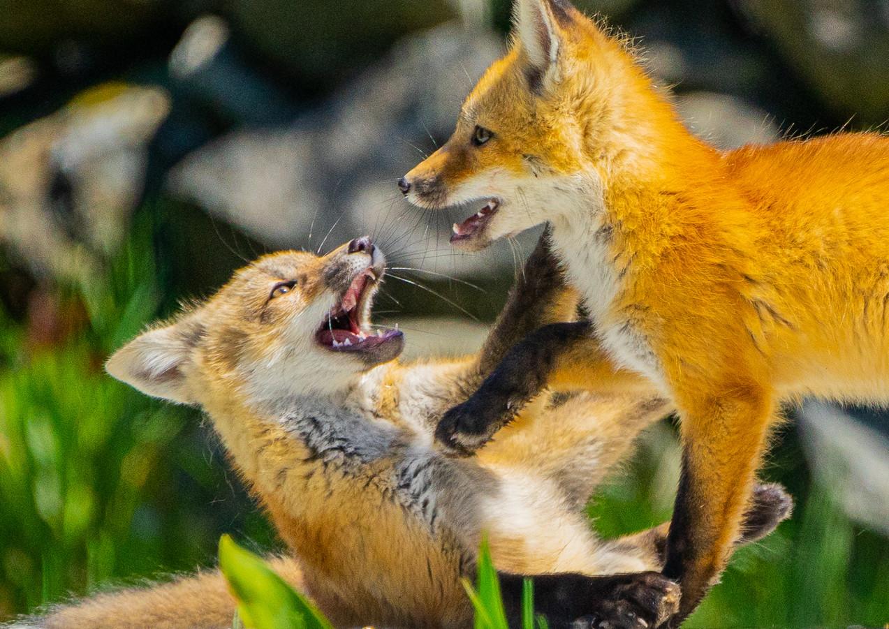 Playful Fox Kits