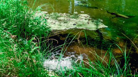Fish in Pond.jpg
