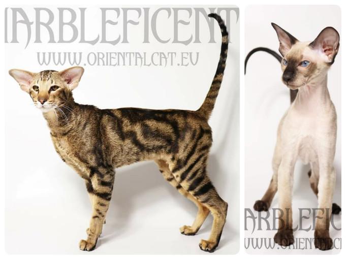 Peterbald / Oriental / Siamese kittens
