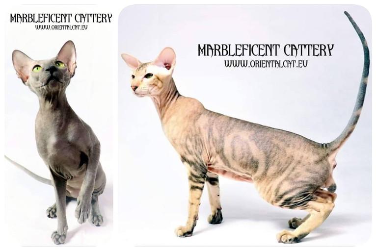 Peterbald / Oriental / Siamese kittens !