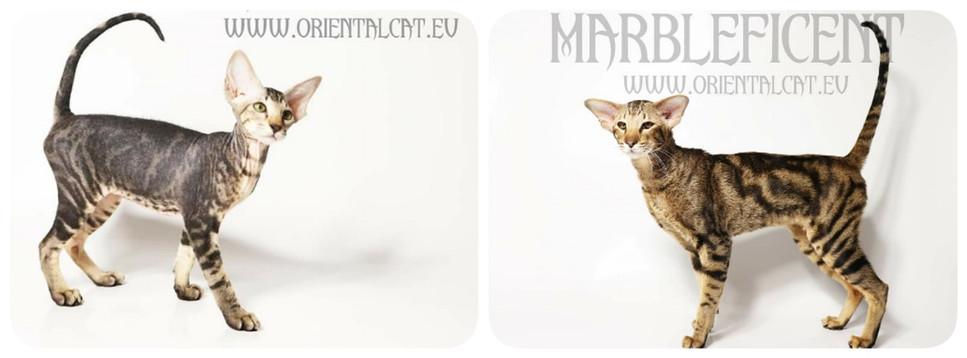 Peterbald / Oriental / Siamese kittens/ Oriental / Siamese kittens19024