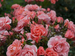 Beautiful Wild Roses