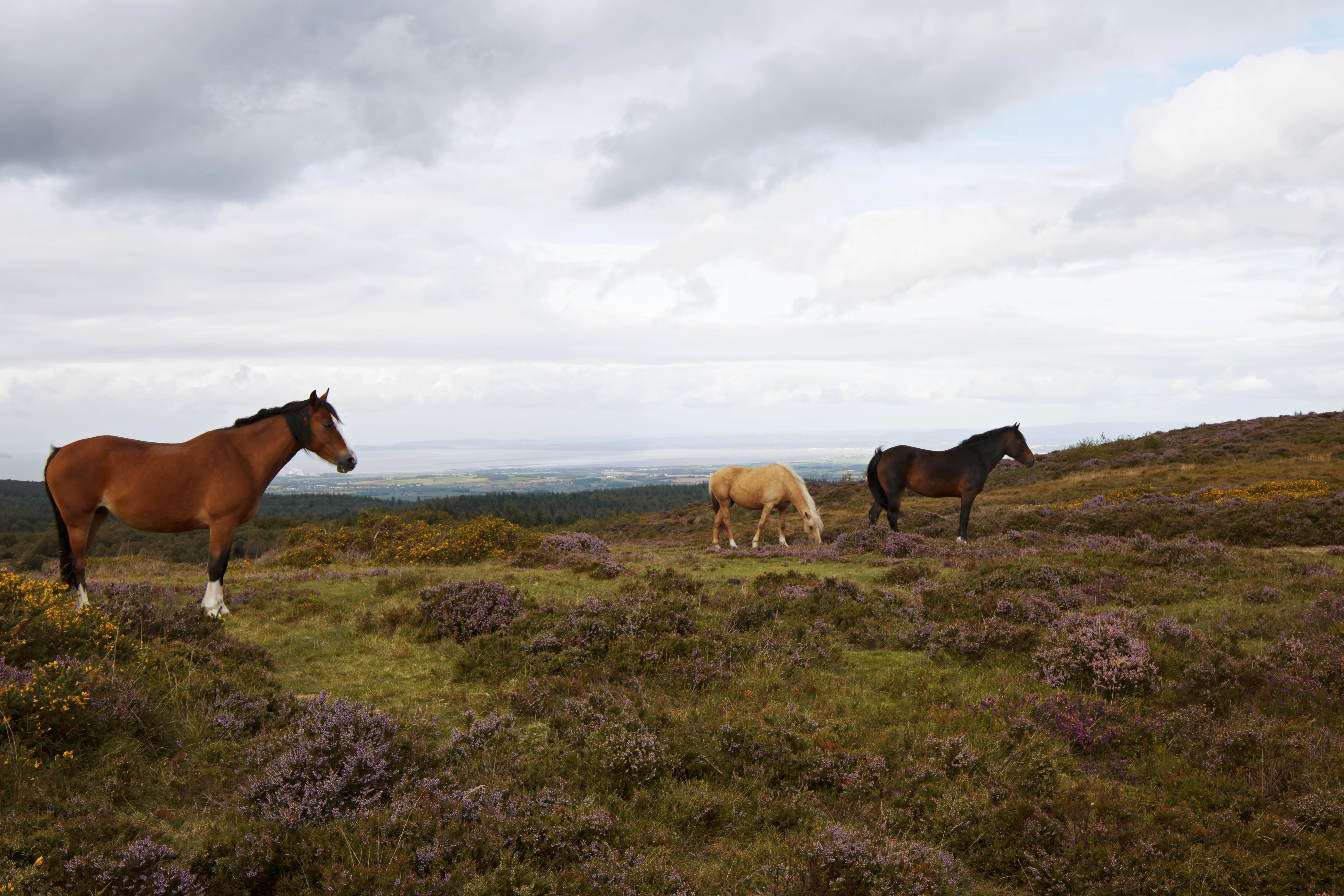 Horses at Quantock Hills, Somerset