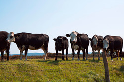 Cows at Clevedon Pill