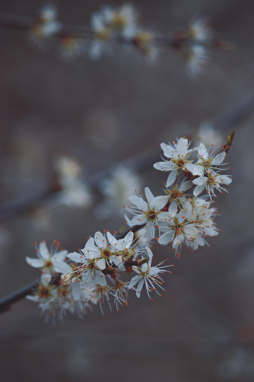 English Blossom