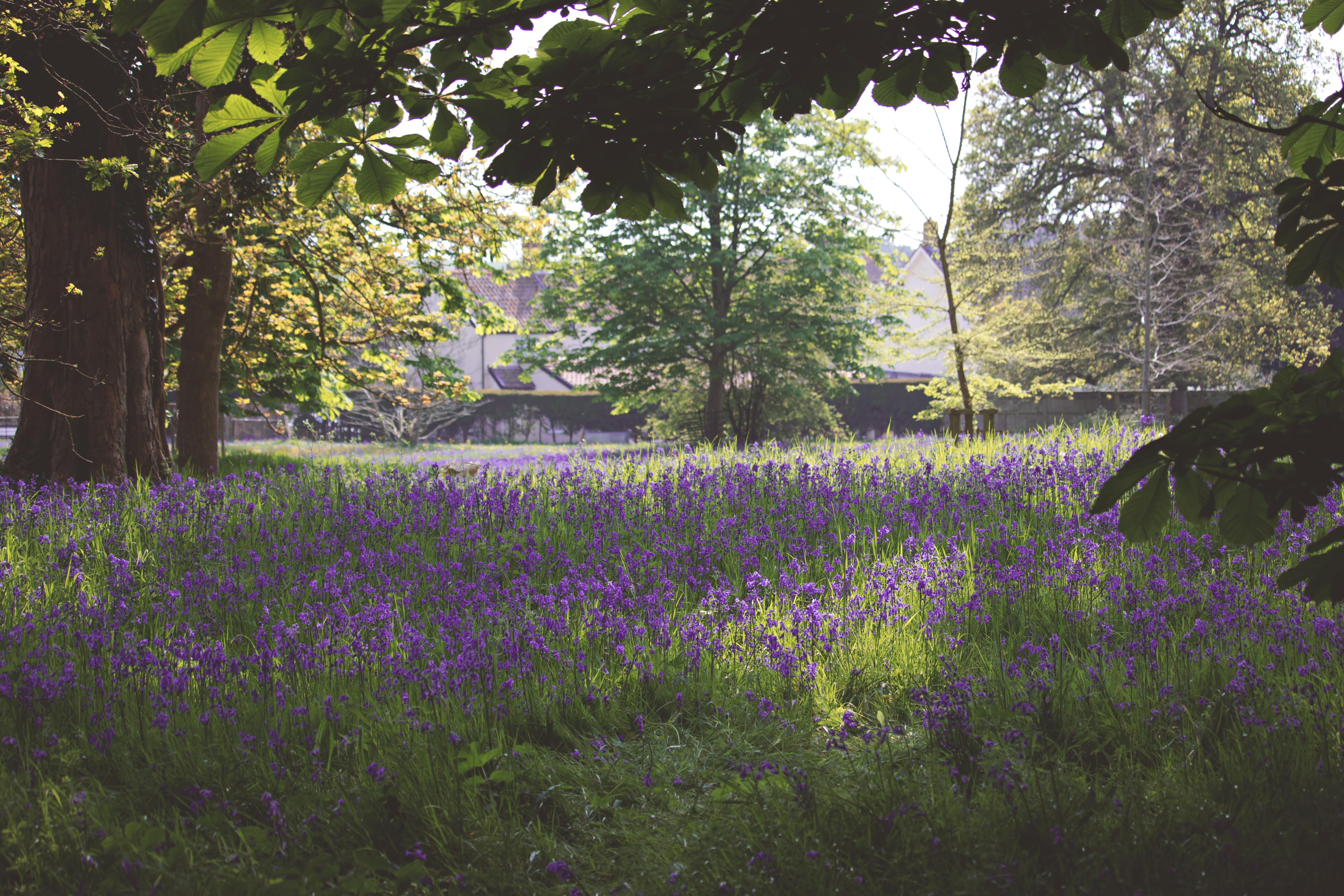 Bluebells at Prior Woods