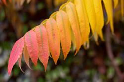Fiery Leaves