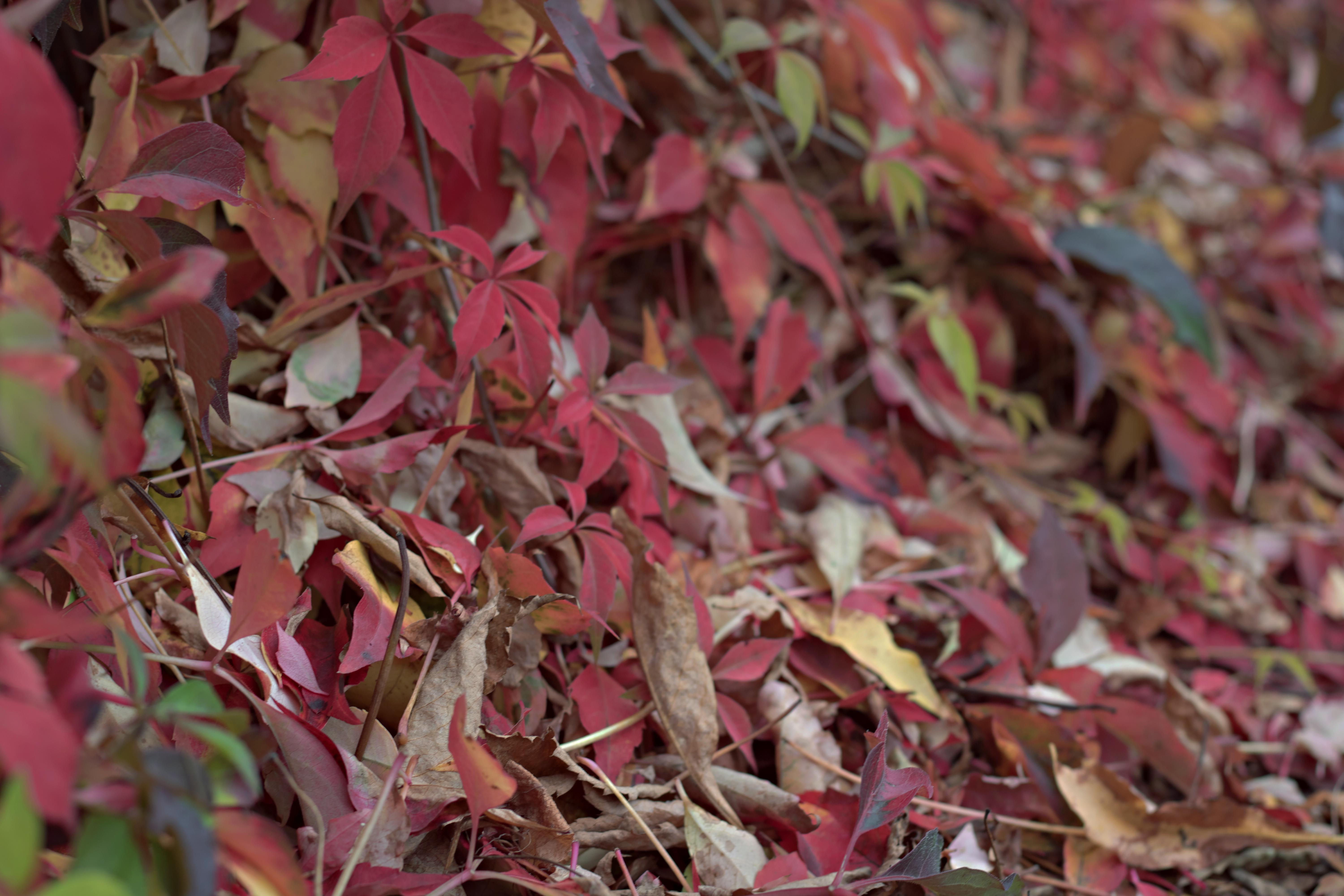 Pink Autumnal Leaves
