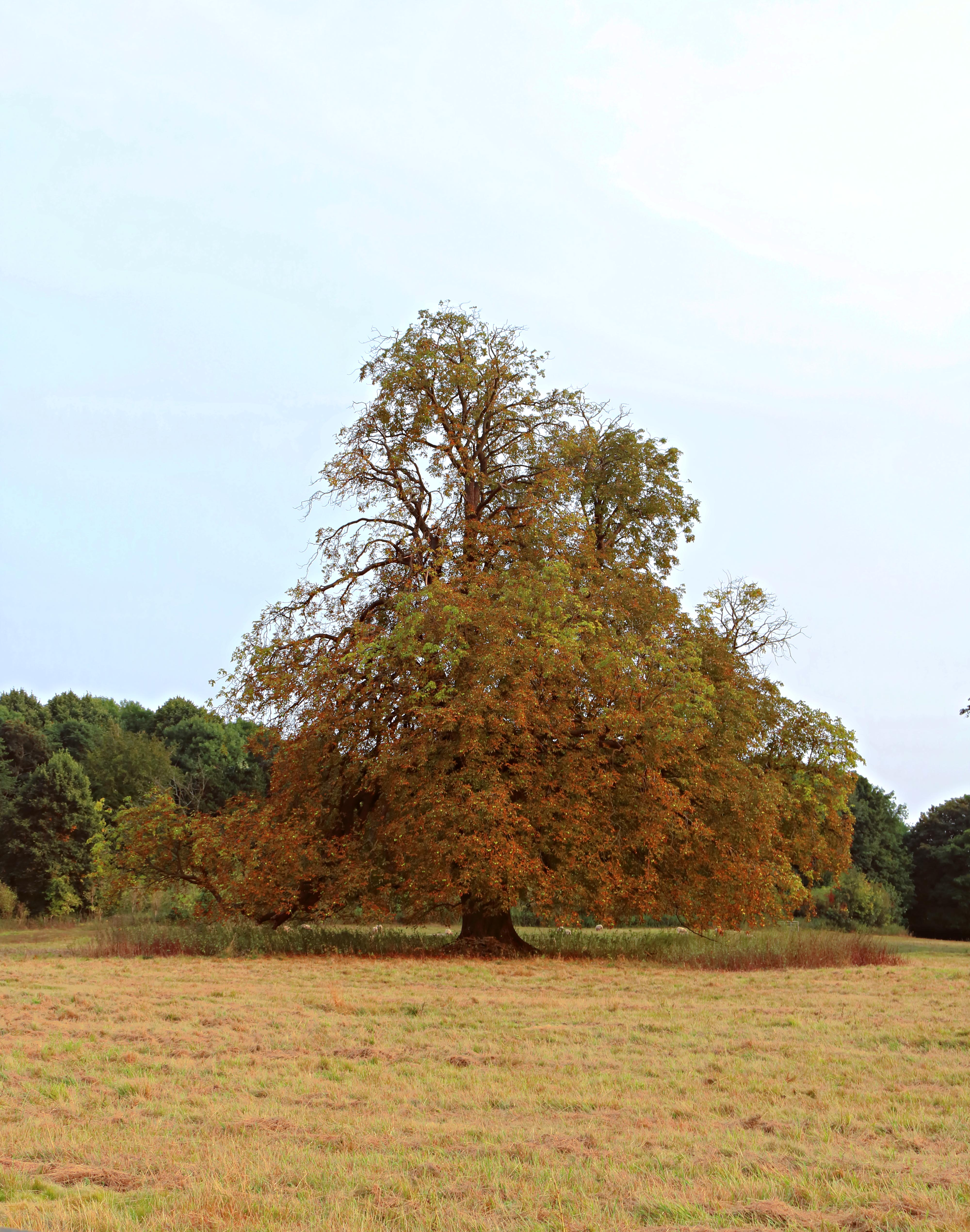 Autumnal Oak Tree Surrey