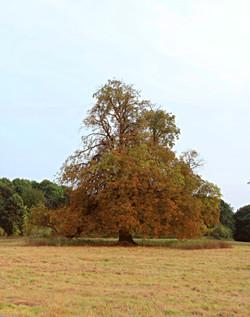 Autumnal Oak Tree Surrey