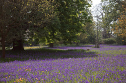 Leigh Woods Bluebell Photography
