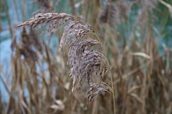 Autumnal Reeds